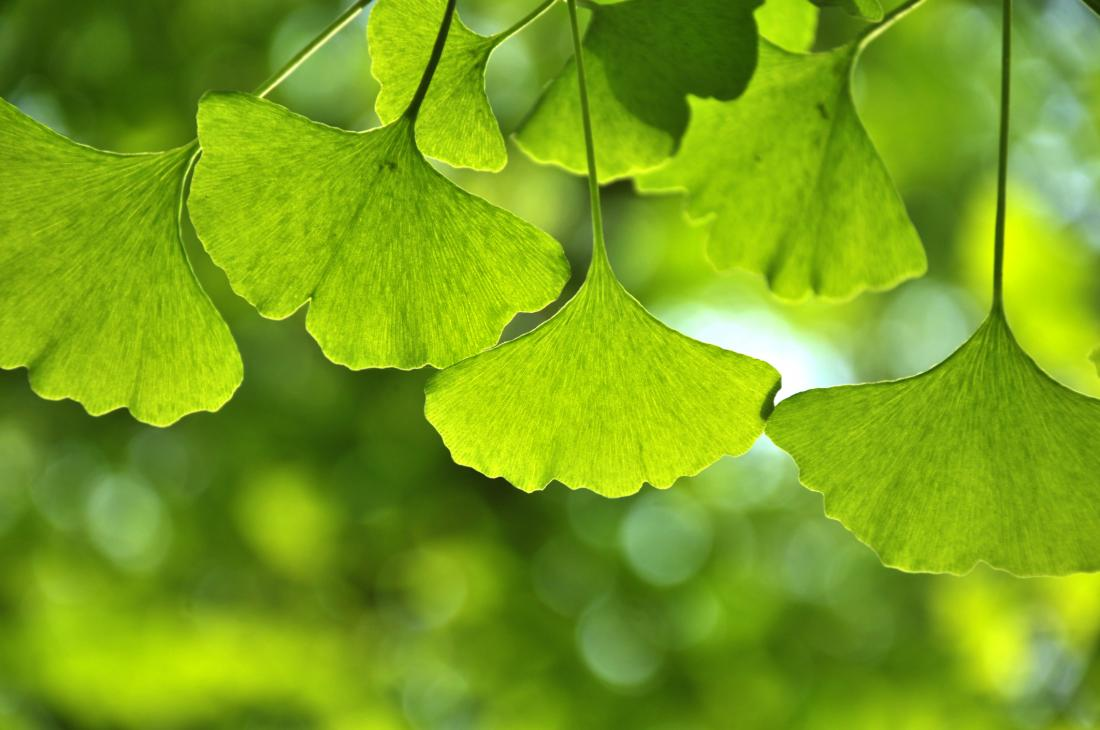 gingko tree leaves