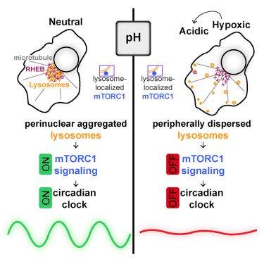 acid suspends circadian clock