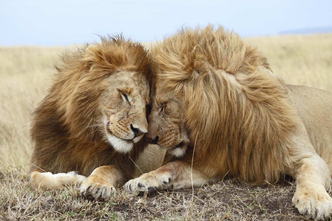 two lions bonding